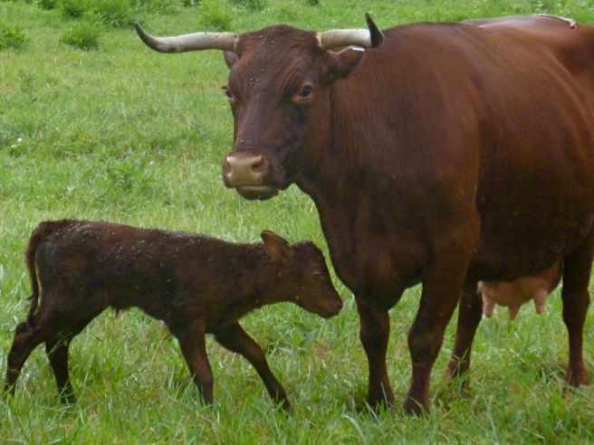 Having Hannah for a mother is the best advantage a calf can get...
